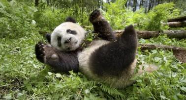 Un nouveau jour sur terre - documentaire BBC - panda